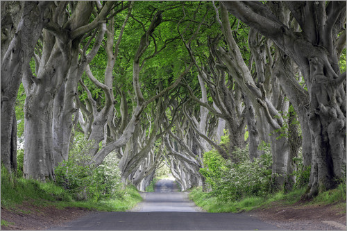 Poster Dark Hedges in Ireland