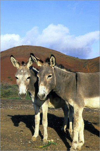 Poster Two donkeys