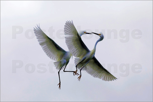 Ellen Anon - Two flying heron in courtship