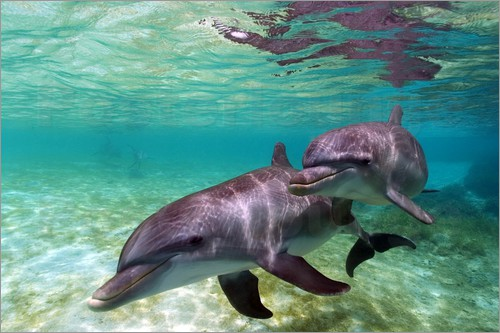 Poster Two bottlenose dolphins from the beaches of the Caribbean