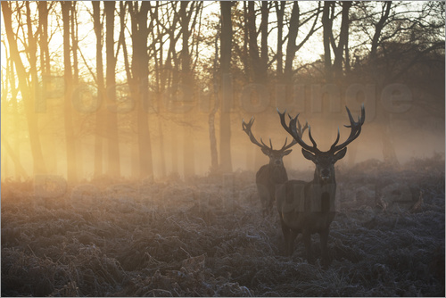 Poster Two deer stags in a misty forest in Richmond park, London.