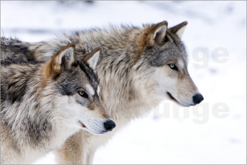 Poster Two Timber Wolves in the snow