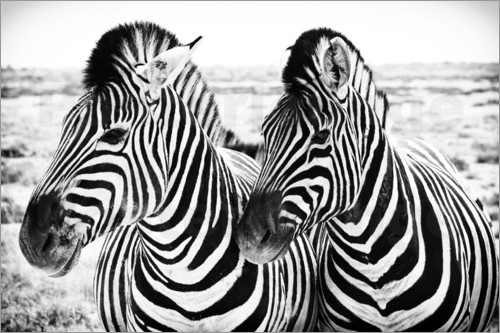 Poster Two Zebras