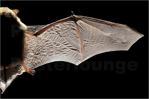 Poster Common pipistrelle bat wing