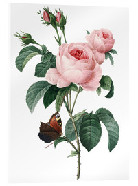 Acrylic print  Rose of a Hundred Petals - Pierre Joseph Redouté
