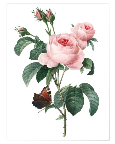 Premium poster Rose of a Hundred Petals