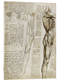 Acrylic glass  The muscles - Leonardo da Vinci