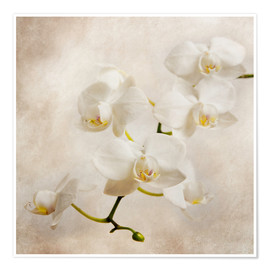 Poster  white orchid - Hannes Cmarits