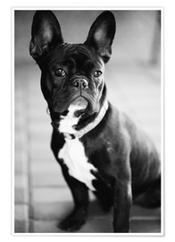 Premium poster French Bulldog