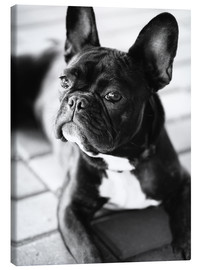 Canvas  French Bulldog - Falko Follert