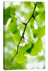 Canvas print  Gingko - Thomas Herzog