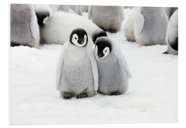 Foam board print  Sweet Emperor Penguin Chicks - Keren Su