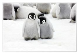 Premium poster Sweet Emperor Penguin Chicks