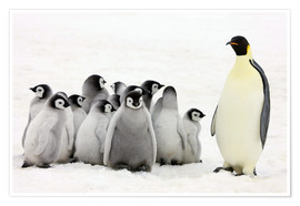 Premium poster  Emperor penguin with chicks - Keren Su