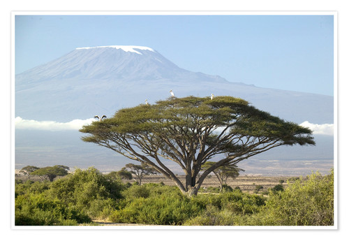 Premium poster Big tree in front of the Kilimanjaro