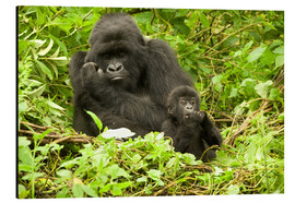 Aluminium print  Gorilla with baby in the green - Joe & Mary Ann McDonald