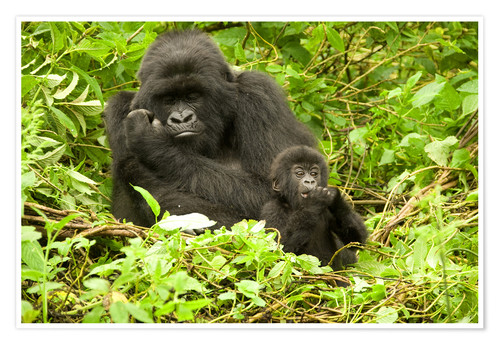 Poster Eastern Gorilla with baby between leaves