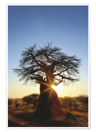 Poster  African Baobab Tree - Adam Jones