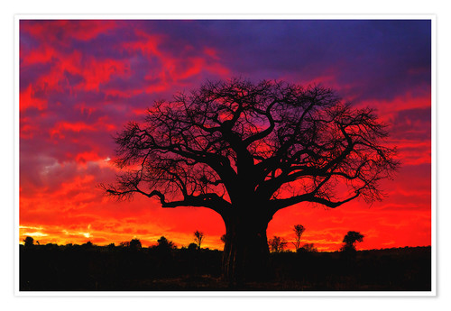 Premium poster Baobab in the glowing sunset