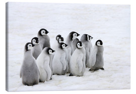 Canvas print  Emperor penguin chick on the ice - Keren Su