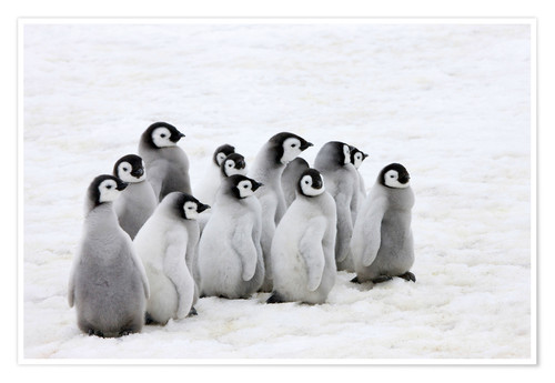 Premium poster Emperor penguin chicks on ice