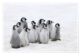 Premium poster Emperor penguin chick on the ice