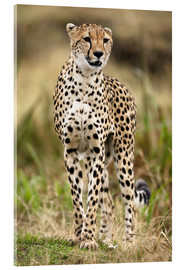 Acrylic print  Cheetah on the prowl - Joe & Mary Ann McDonald