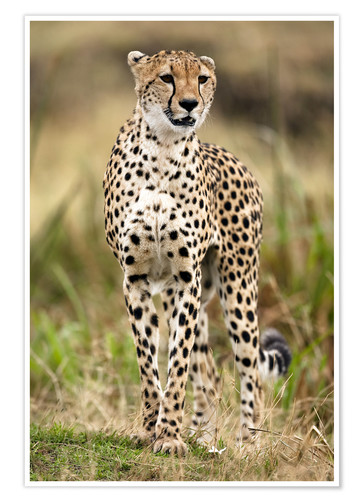 Premium poster Cheetah on the prowl