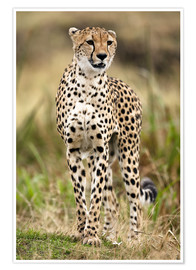 Poster  A cheetah looks into the distance - Joe & Mary Ann McDonald
