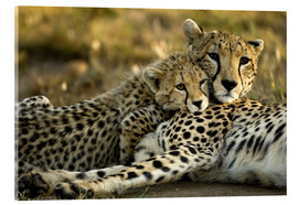 Acrylic print  Cheetah cub with mother - Joe & Mary Ann McDonald