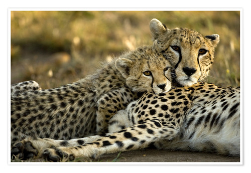 Premium poster Cheetah cub with mother