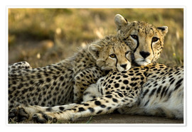 Poster  Cheetah cub clings to his mother - Joe & Mary Ann McDonald