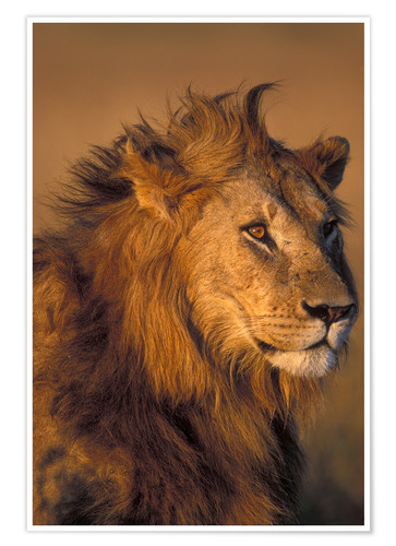 Premium poster Lion in the sunlight
