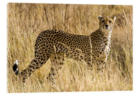 Acrylic print  Cheetah in the dry grass - Ralph H. Bendjebar
