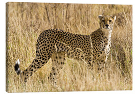 Canvas print  Cheetah stands between dry grasses - Ralph H. Bendjebar