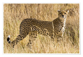 Poster  Cheetah stands between dry grasses - Ralph H. Bendjebar