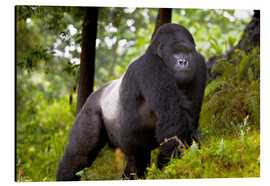 Aluminium print  Mountain gorilla on a foray - Ralph H. Bendjebar