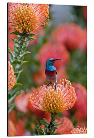 Alu-Dibond  Greater Double-collared Sunbird on Pincushion Protea - Ralph H. Bendjebar