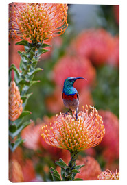 Canvas print  Sunbird on protea - Ralph H. Bendjebar