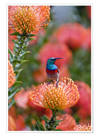 Ralph H. Bendjebar - Greater Double-collared Sunbird on Pincushion Protea