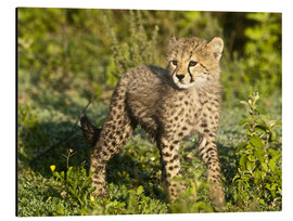 Aluminium print  Little cheetah in the green - Ralph H. Bendjebar