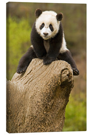 Canvas print  Panda baby on tree stump - Alice Garland