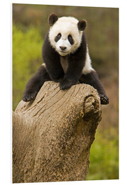 Foam board print  Panda baby on tree stump - Alice Garland