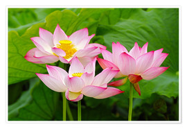 Premium poster Three Indian lotus flowers in detail