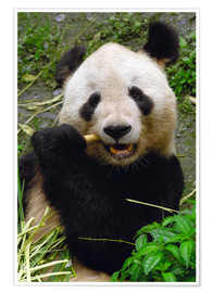 Premium poster Panda is chewing on bamboo