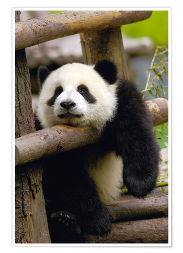 Premium poster Panda relaxes on a fence