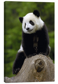 Canvas print  Panda baby - Pete Oxford