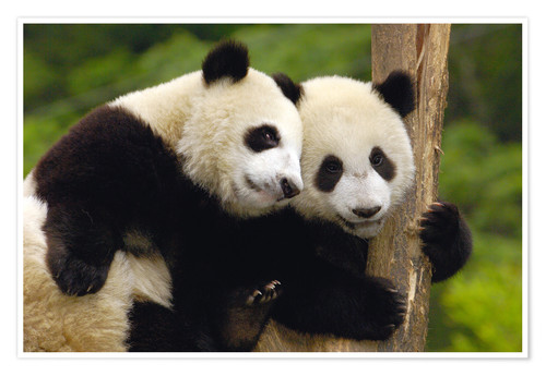 Premium poster Young pandas at tree trunk
