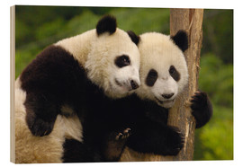 Wood  Two young pandas on a tree trunk - Pete Oxford