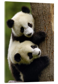 Acrylic print  Giant Panda babies clinging to a tree trunk - Pete Oxford